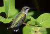 Ruby Throated Hummingbird in Honeysuckle Trumpet Vine 53