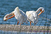 American White Pelicans grooming Aug 26 2017