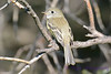 Least Flycatcher Aug 21 2017