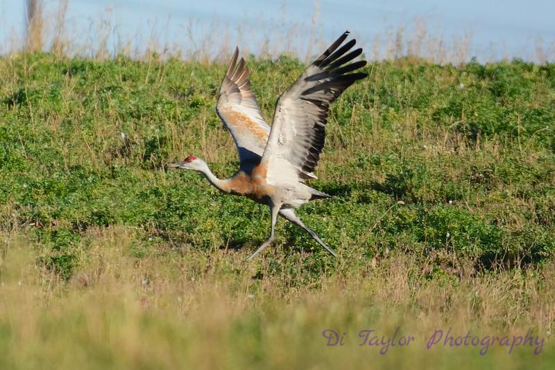 Sandhill Crane starting take off