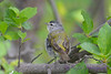 Tennessee Warbler 4  22 Jul 2017