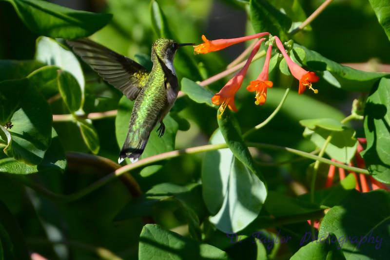 Female Ruby Throated Hummingbird 2015 7