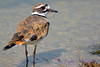 Killdeer wading in water