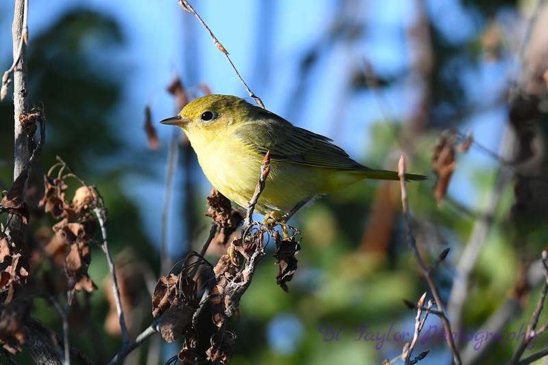 Yellow Warbler juvenile 2 July 27 2020