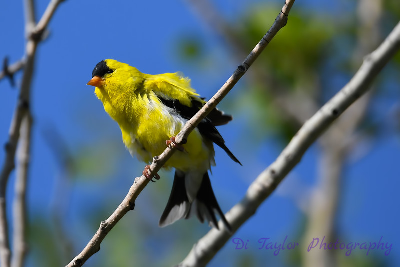 American Goldfinch 6 July 6 2018