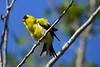 American Goldfinch 6 July 6 2018