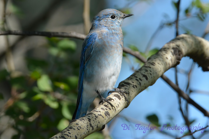 Mountain Bluebird juvenile male 2  Sep 4 2017