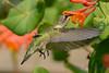 Female Ruby Throated Hummingbird in Honeysuckle Trumpet Flowers 37