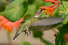 Female Ruby Throated Hummingbird in Honeysuckle Trumpet Flowers 37