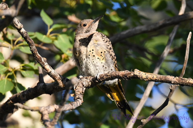 Northern Flicker Aug 5 2020