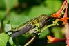 Jeuvenile Ruby throated hummingbird in honeysuckle trumpet vine 5