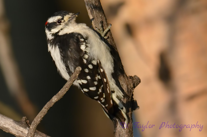 Downy Woodpecker 3  24 Jul 2017