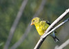 American Goldfinch female 2 Aug 2 2020