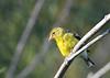 American Goldfinch female 2 Aug 2 2020