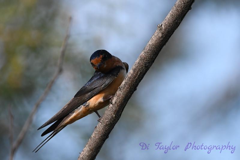 Barn Swallow 2 12 July 2020