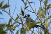 Blue Jay  2 Sep 13 2020