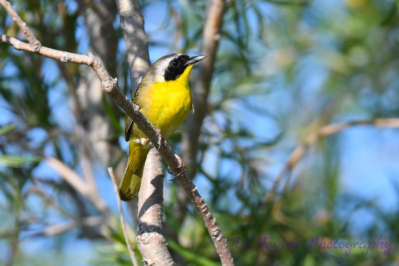 Common Yellowthroat male 4 1-Jul-2019