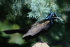 Common Grackle on Fencepost
