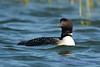 Common Loon 5  Aug 26 2017