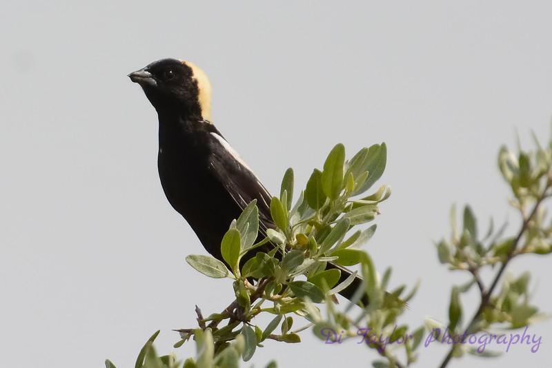 Bobolink male in branch 2