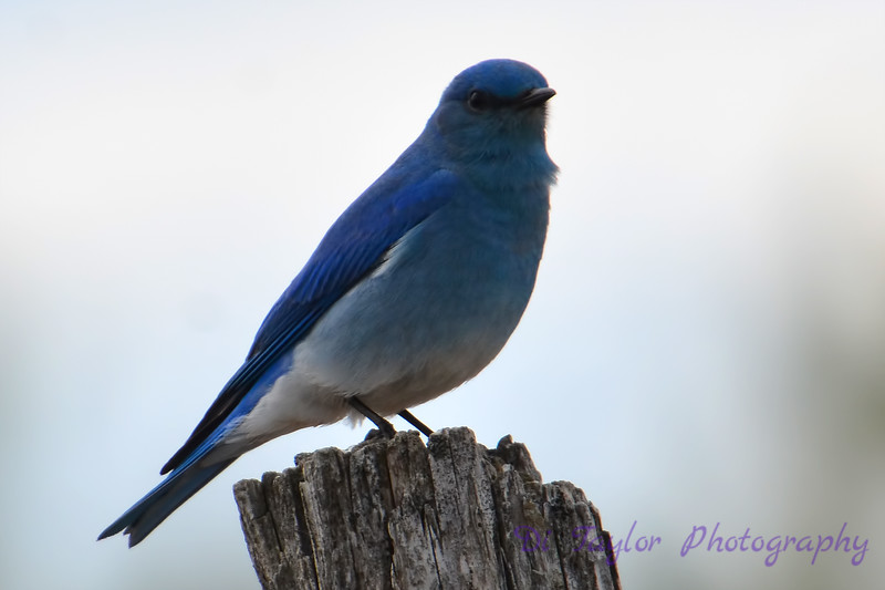 Bluebird on stump 2