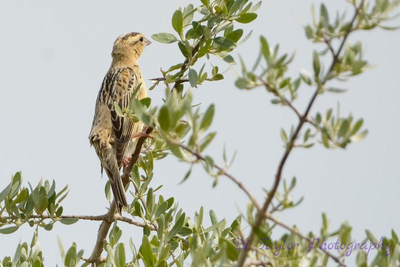 Bobolink female  in tree