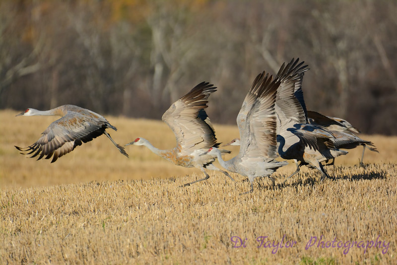 Sandhill Crane group taking flight