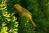 Yellow warbler in cedar