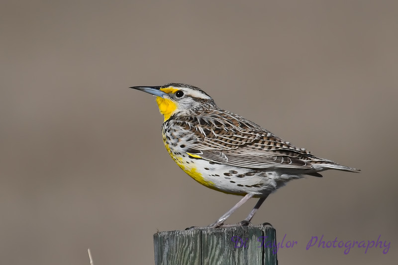 Meadowlark 7  28 April 2018