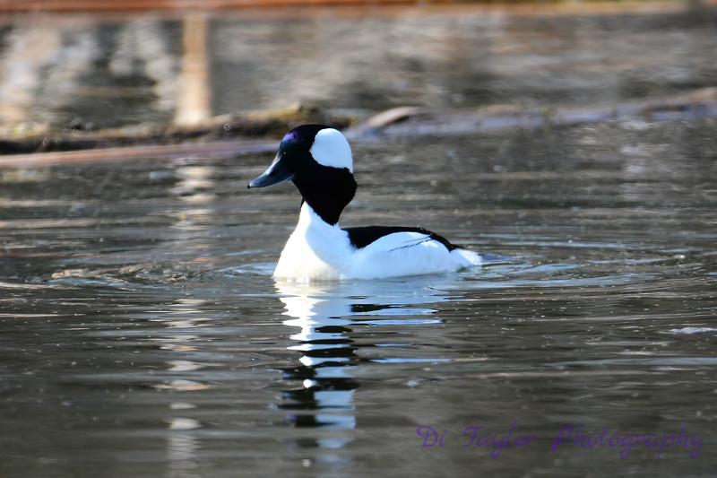 Buffle headed male duck