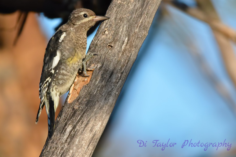 Yellow Bellied Sapsucker juvenile Aug 21 2017