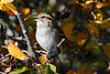 White-Throated Sparrow 7