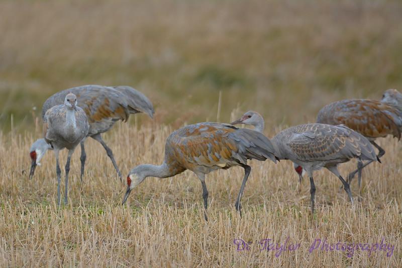 Sandhill Cranes  2  Oct 28 2017