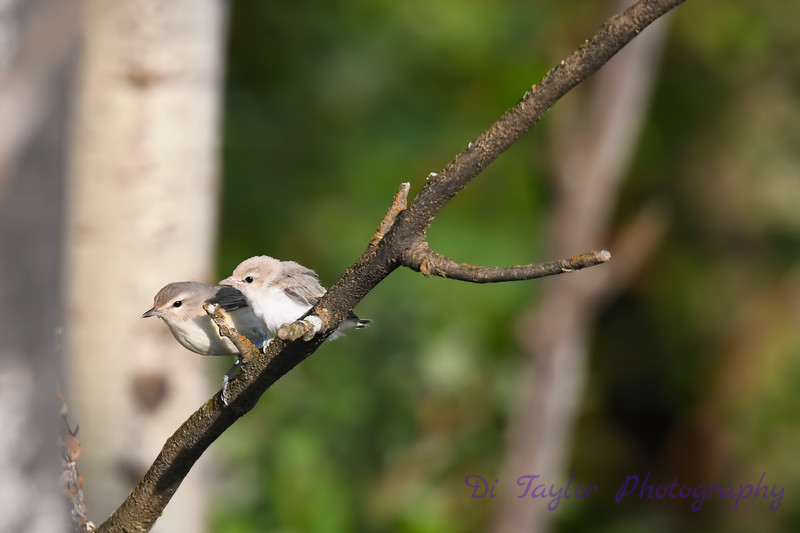 Warbling Vireo parent and baby 2  21 Jul 2019