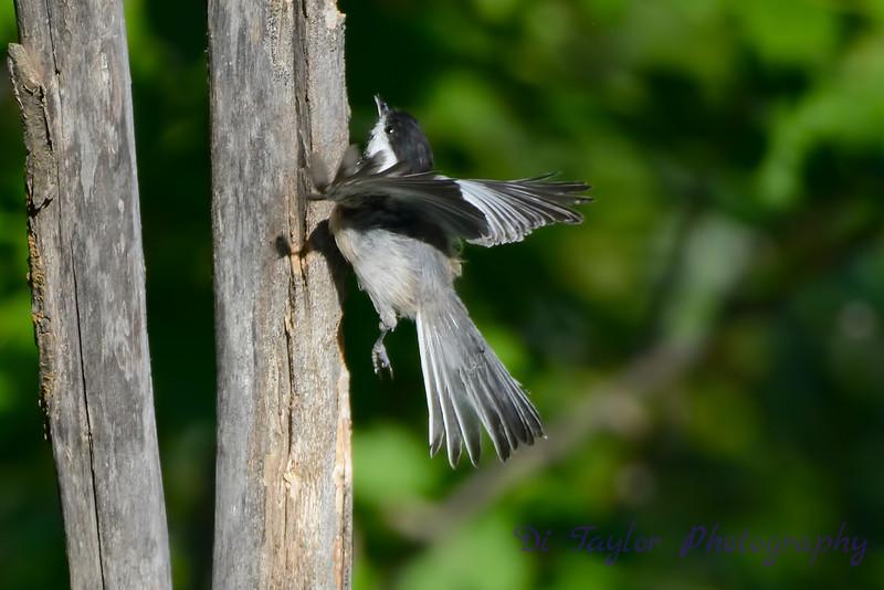 Chickadee taking flight
