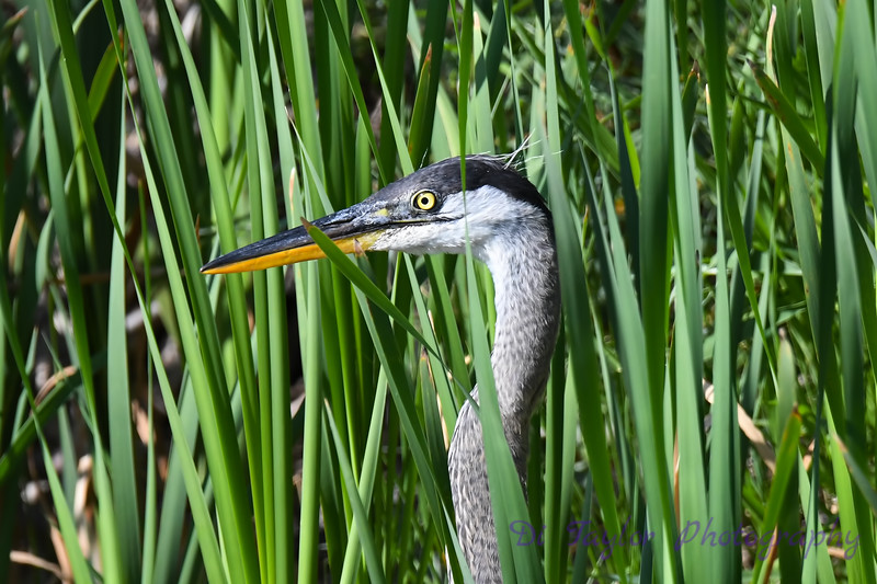 Great Blue Heron close up Aug 2 2020