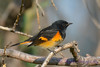 American Redstart male 11 Sep 10 2017