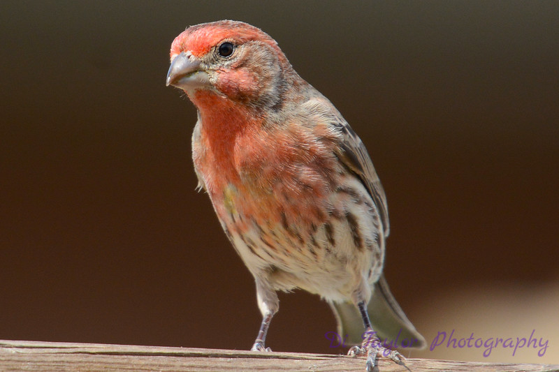 Male Housefinch on fench