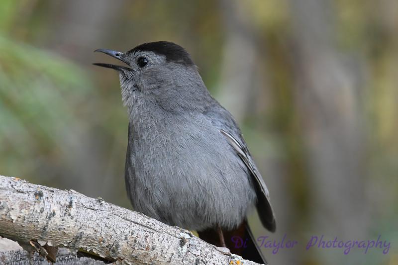 Gray Catbird 12 July 2020
