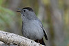 Gray Catbird 12 July 2020