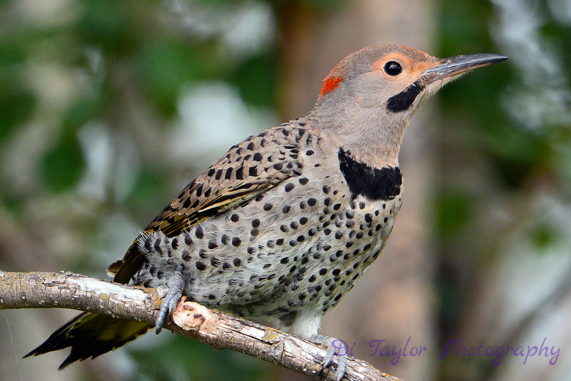 Northern Flicker 7