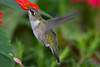 Young Male Hummingbird in Red Sage flowers 4