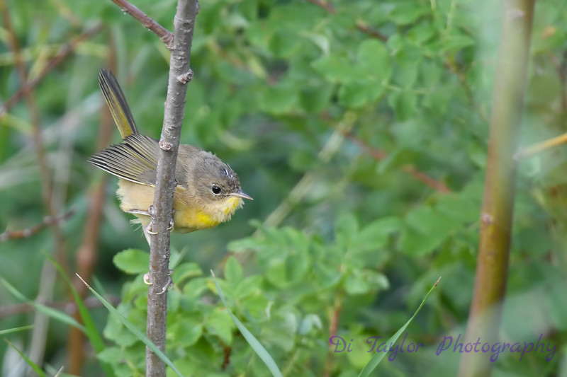 Common Yellow Throat perhaps a juvenile 2  Aug 19 2018