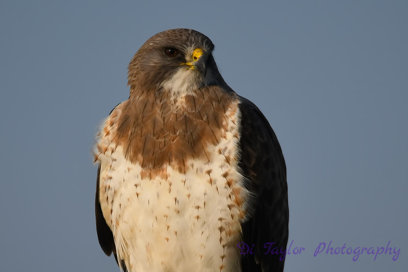 Swainsons Hawk closeup 26 May 2018