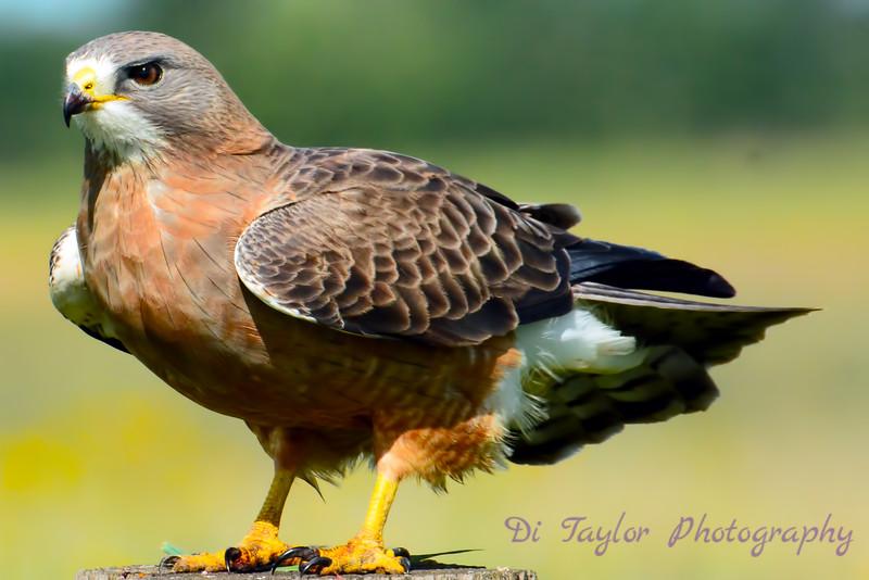 Swainson's Hawk 8