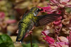 Young hummingbird at pink sage flowers 1