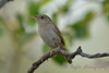 House Wren 3  30 Jul 2017