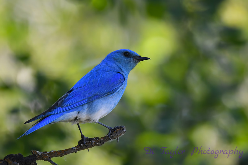 Mountain Bluebird male 2  June 16 2018