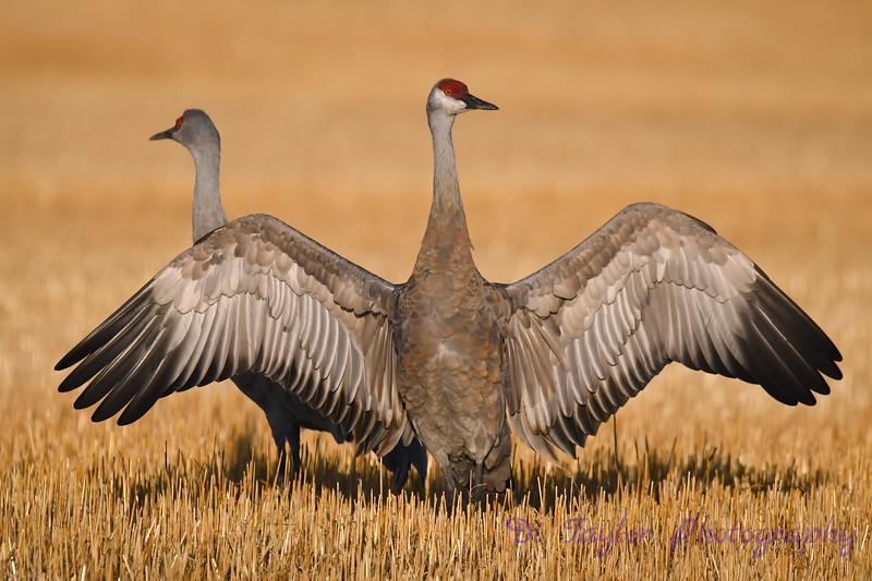 Sandhill Crane spreadhing wings early morning Oct 7 2018