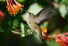 Jeuvenile Ruby throated hummingbird in honeysuckle trumpet vine 6